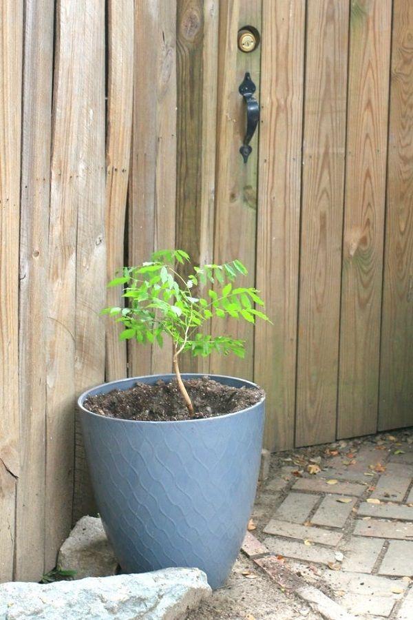 cultivo de la glicinia en maceta | macetas, cultivar y tu puedes