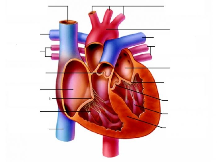 unlabeled heart diagram cross section vw polo 6n2 stereo wiring the anatomy pinterest