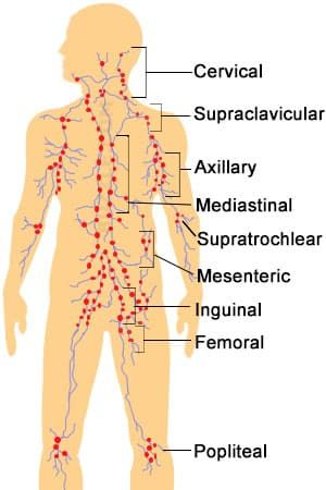 Lymph node locations chart also radiology nodes cancer rh pinterest
