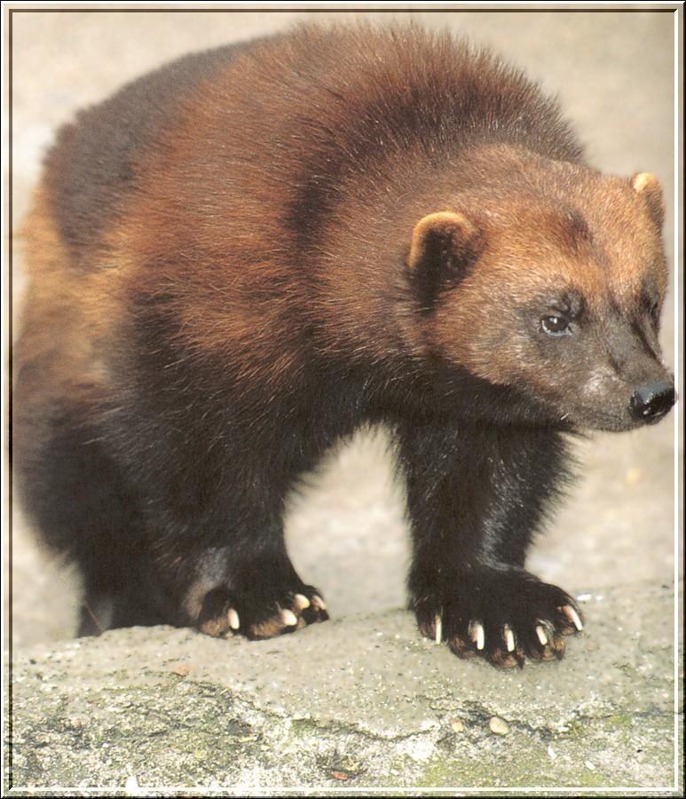 Wolverine Animal | Wolverine (Gulo gulo) {!--울버린(구즈리)-->; Image ONLY