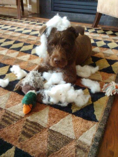 Beck An American Staffordshire Terrier Australian Shepherd