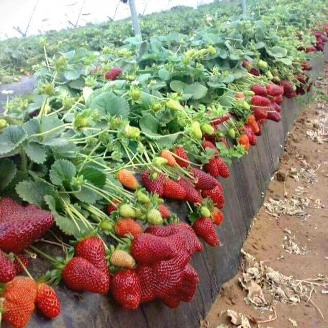 Foto Kebun Strawberry