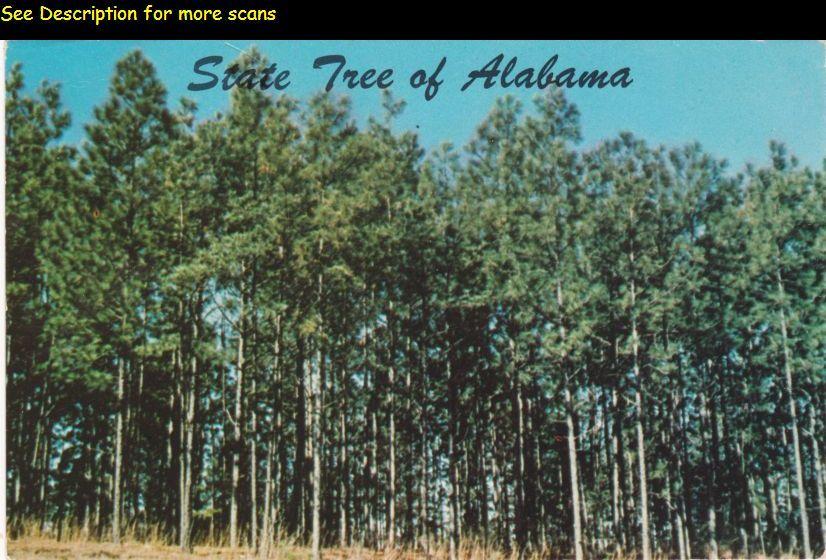alabama state tree long leaf pine pinus palustris alabama