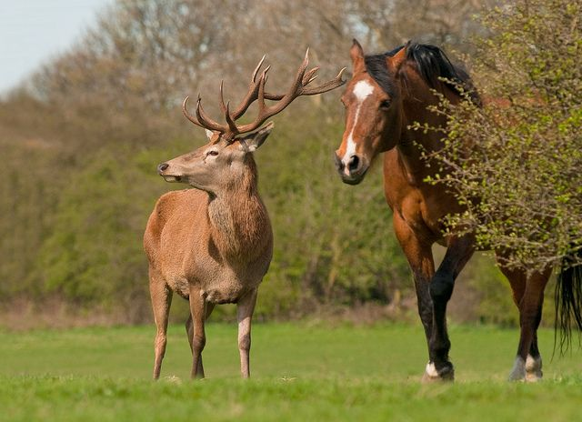 The Odd Couple!! (Wild Red Deer Stag & Horse) | Horses, Animals ...