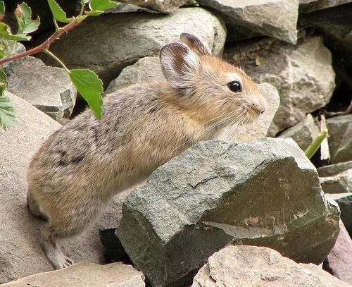 10 Least Popular Animals Whose Names Start With The Letter P Pika Animals Baby Animal Drawings Mammals