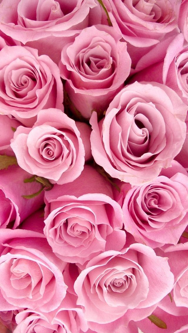 Pink roses iPhone wallpaper