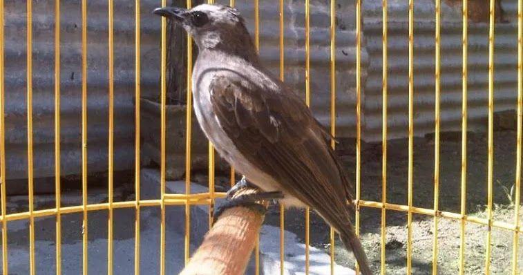 Cara Agar Trucukan Cepat Gacor Ngerol Dan Ngeropel Burung Jalak
