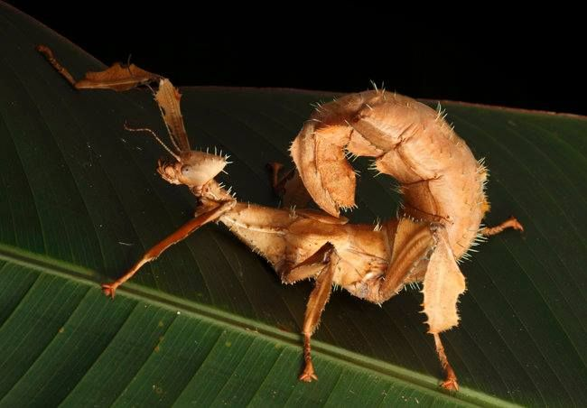Animal of the Day: Extatosoma tiaratum, the spiny leaf insect