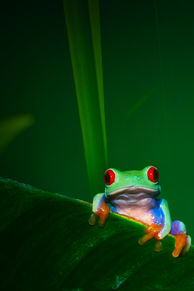 Tap And Get The Free App Art Creative Nature Frog Green Red Eyes Hd Iphone 4 Wallpaper Abstract Wallpaper Backgrounds Frog Wallpaper Wallpaper Iphone Love