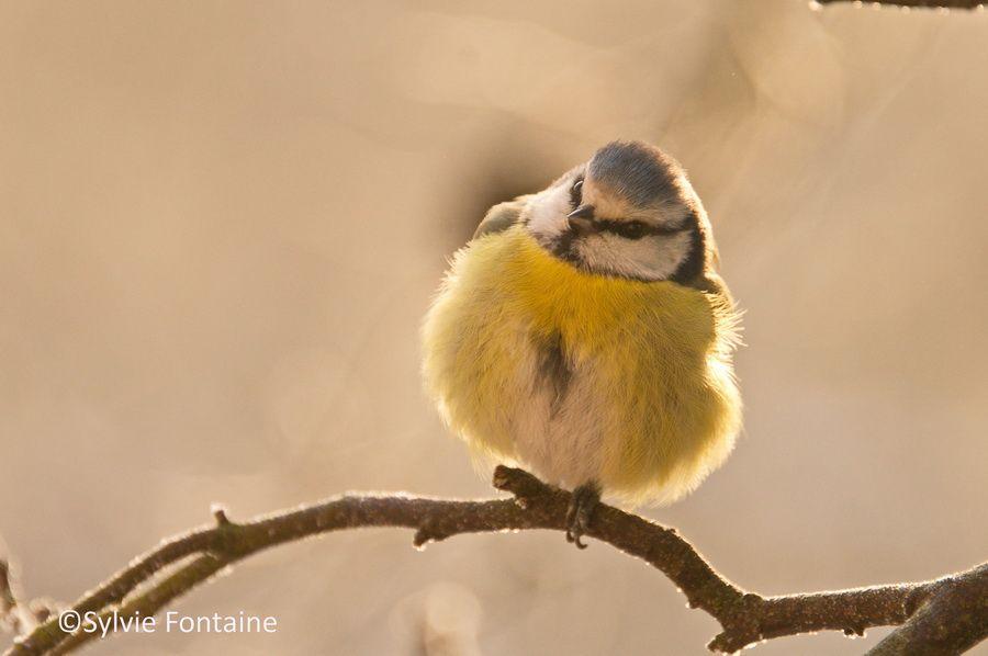 parus caeruleus ou mésange bleue en hiver