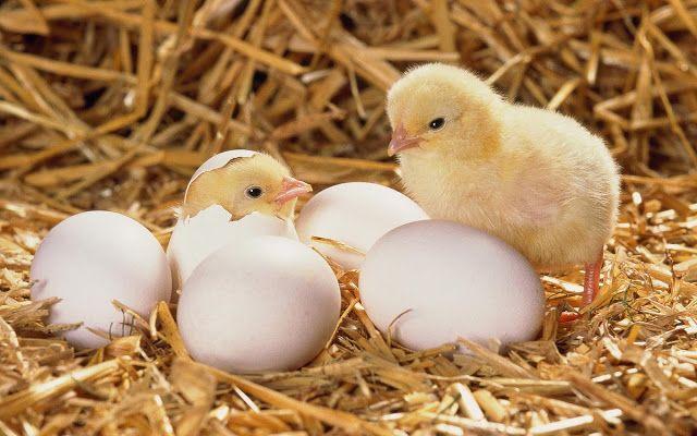 kuikens net uit 't ei | Baby kippen, Kippeneieren, Huisdier vogel