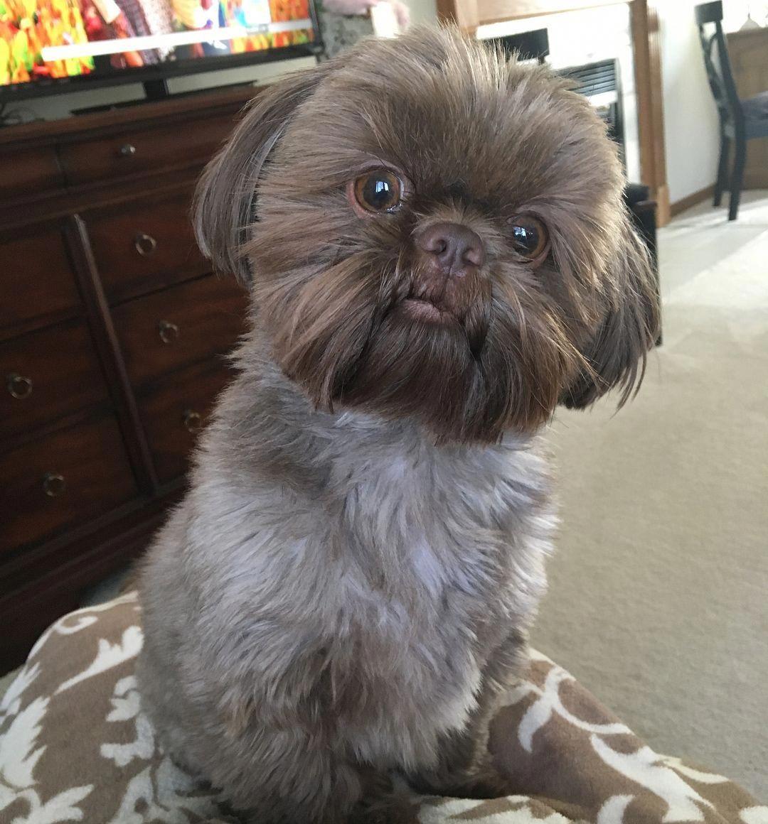 Shih Tzu Affectionate And Playful Shih Tzu Puppy Shih Tzu Dog Shih Tzu