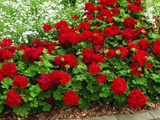 5 flores resistentes al calor jardineria plantas de - Plantas de balcon resistentes al sol ...