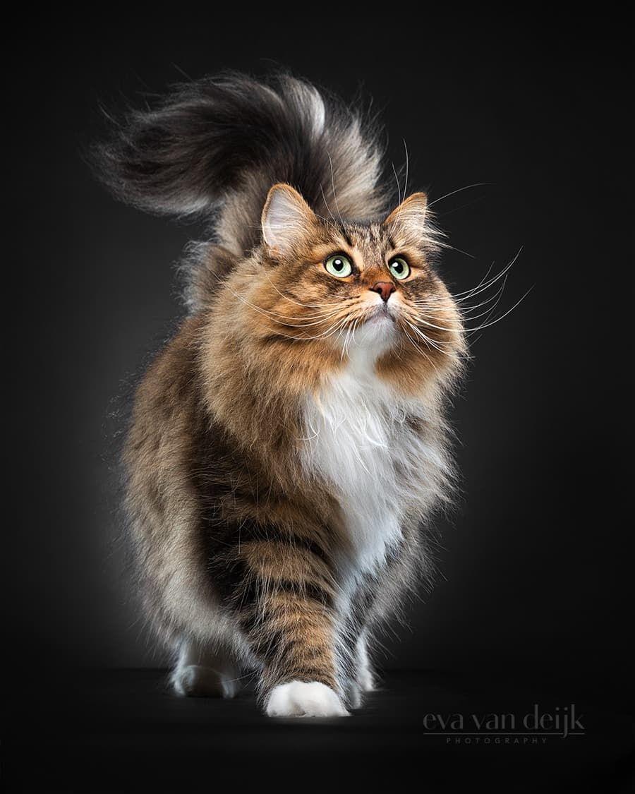 3,865 отметок «Нравится», 149 комментариев — Alex | Siberian cat (@alex.the.siberian) в Instagram: «I rock this catwalk! Dutch next top Meowdel. Thanks to @evavandeijkphotography for this AMAZING…»
