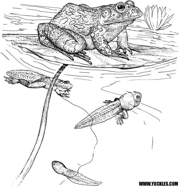 frogtadpole coloring page  Pond Life  Pinterest  Pginas para