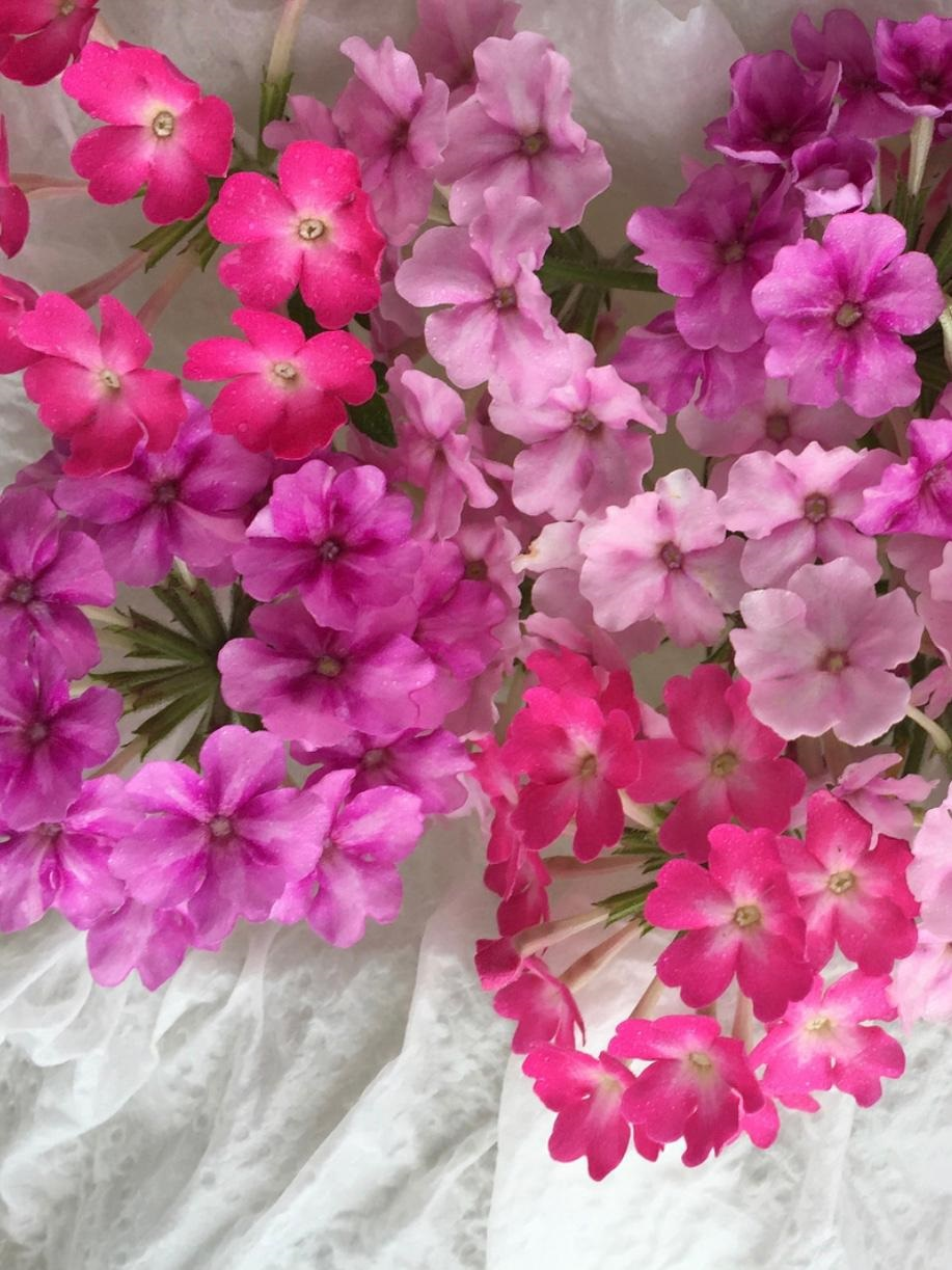 Verbena Flowers, Edible Flowers from Thailand Bloomsday