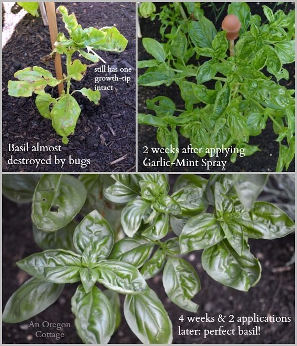 BugEaten Basil Before and After homemade GarlicMint Garden Spray  proof it really works