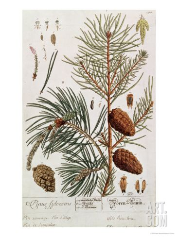 Pine Tree, from A Curious Herbal, Published in Nuremburg in 1757 Giclee Print by Elizabeth Blackwell at Art.com