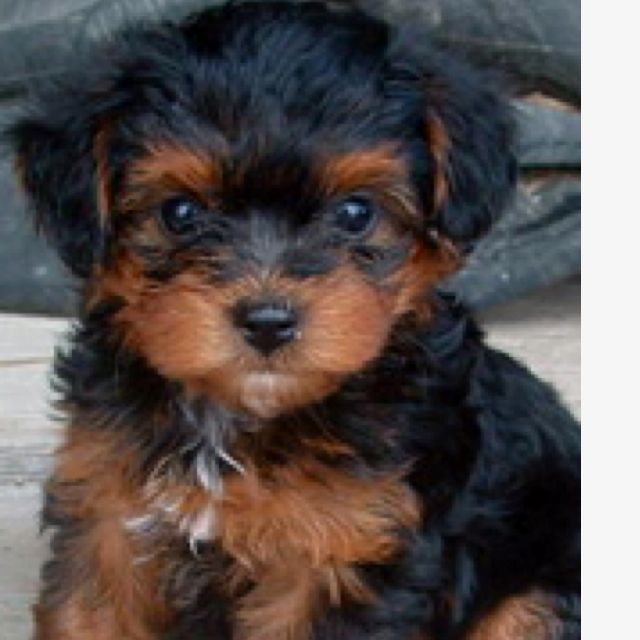 Black And Brown With White Chest Yourkiepoo Yorkie Poo Puppies