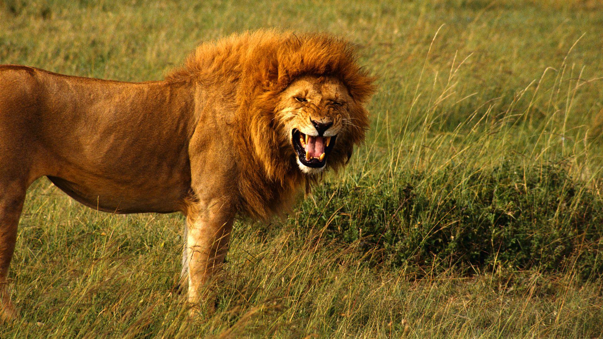 Grassland Animals Feline Lions Nature Wallpaper 639346 Wallbase Cc Lion Facts Fun Facts About Lions Lion Wallpaper
