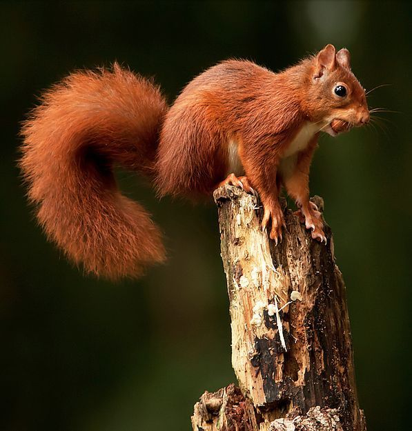 An orange squirrel sitting on a small stump with a nut in its mouth.