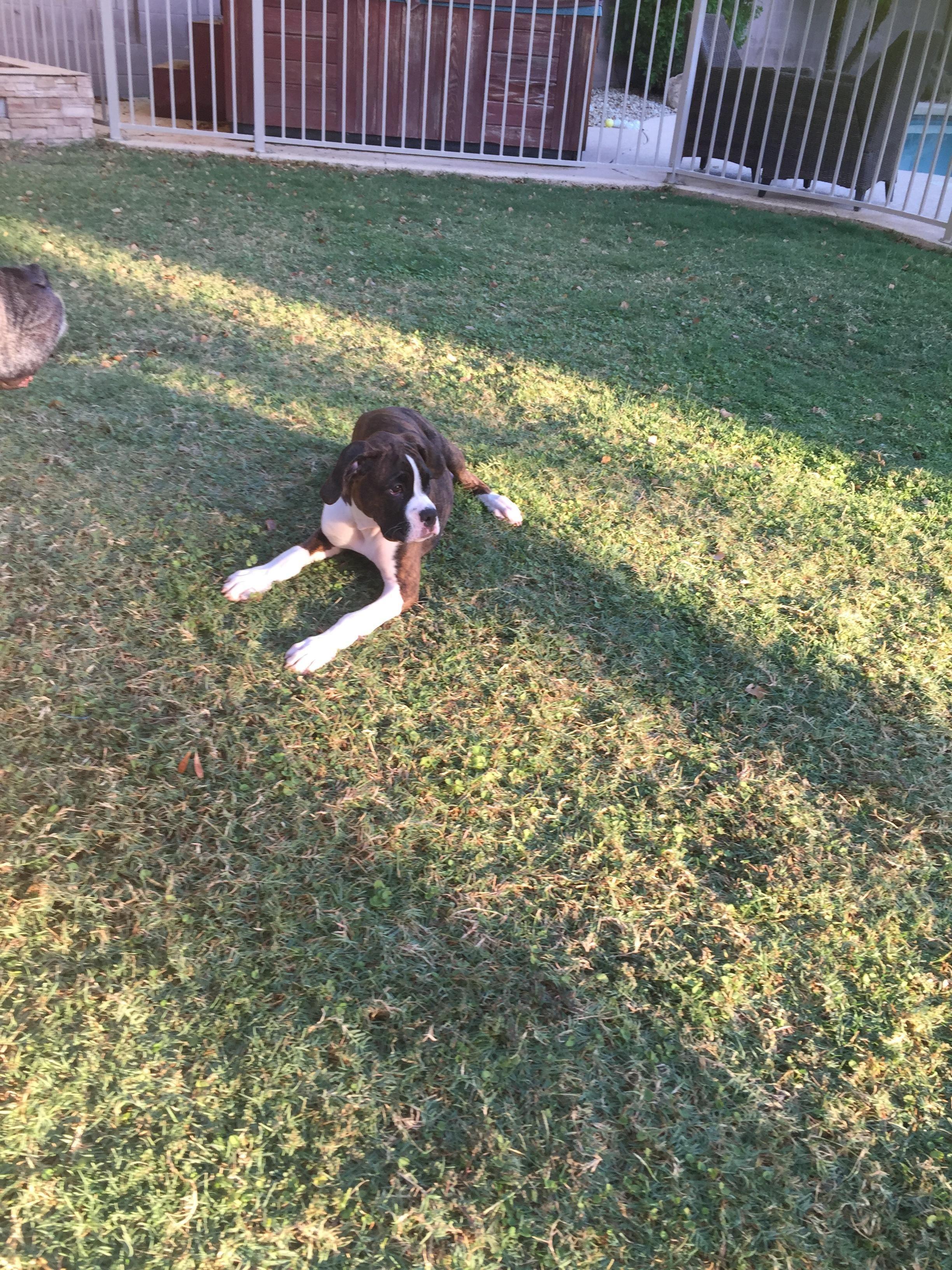 Lost Name Gracie Description Female Brindle Boxer Puppy Area Last Seen Glendale Az 85308 Address Last Seen H With Images Losing A Pet Brindle Boxer Puppies Brindle Boxer