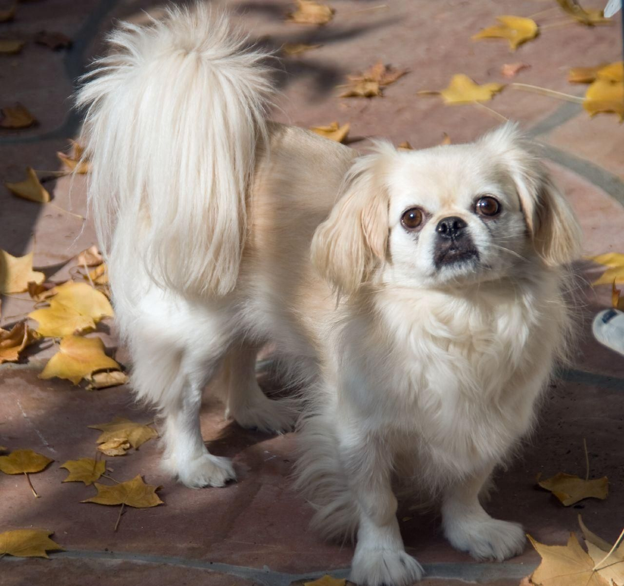 Donde Venden Chihuahua Mix Pekingese Pekines Conoce La Raza