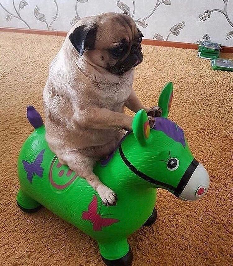 Caption This Now Pug Is Rider Pug Pugs Puglia Puggle Puggy