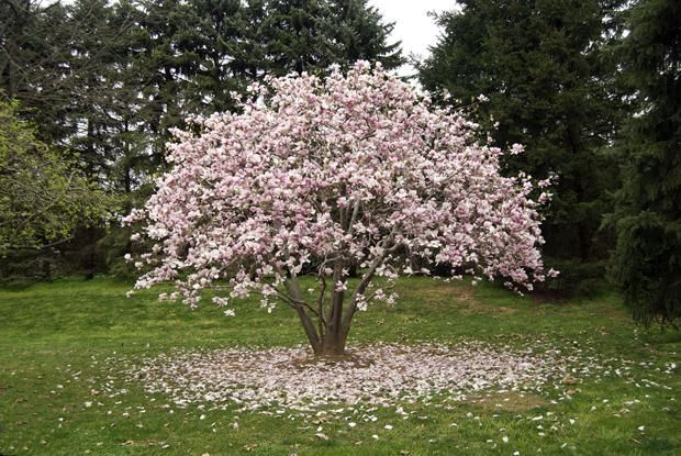 Plants And Flowers Moms Magnolia Tree With Some Flower That Look So Beautiful And What Does A Magnoli Magnolia Trees Southern Magnolia Tree Jane Magnolia Tree