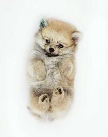 Pin By Bobby Sant On Pets Cute Animals Pomeranian Puppy