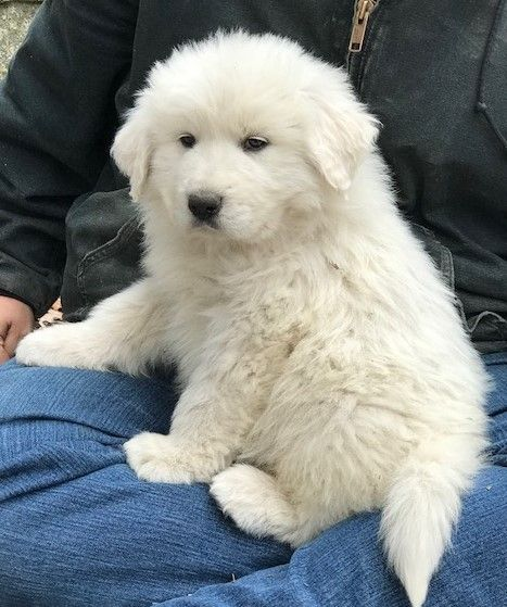 Litter Of 8 Great Pyrenees Puppies For Sale In Knoxville Tn Adn