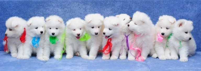 Family Life Samoyeds Happiness Starts Here In 2020 Puppies Dogs And Puppies Math Problems