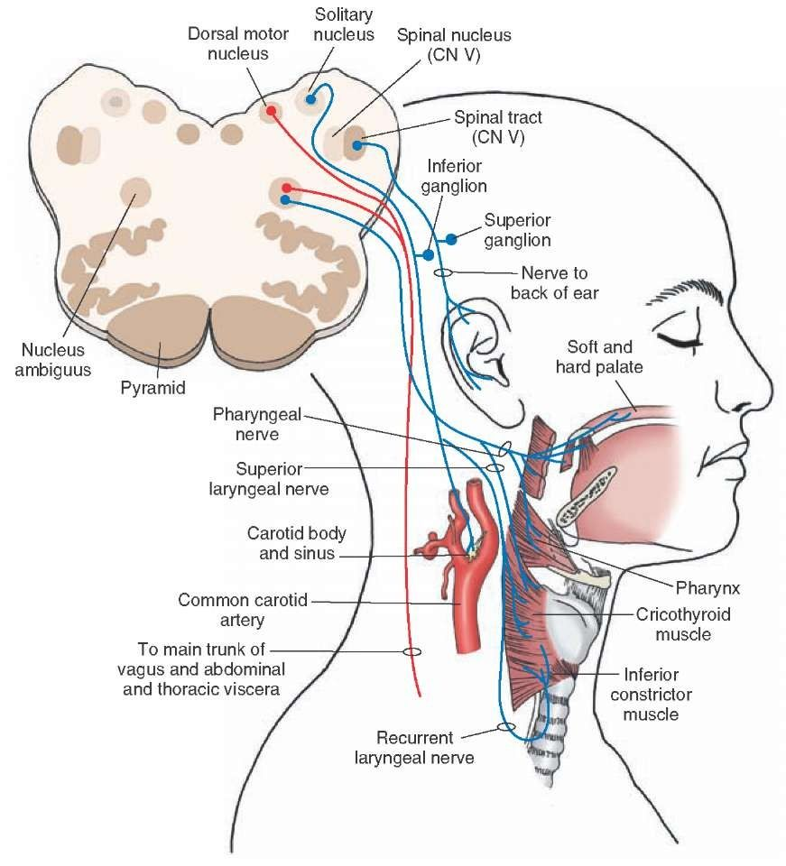 Vagus Nerve Diagram Wiring Of Single Phase Motor With Capacitor Illustrates The Origin Course And Distribution All Components Cranial Cn X Autonomic