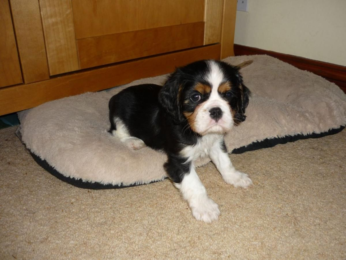 King Charles Spaniel Puppies For Sale Jacksonville King Charles Cavalier Spaniel Puppy Cavalier King Charles Spaniel Tricolor Cavalier King Charles Spaniel