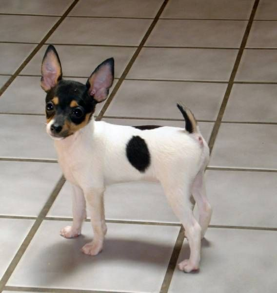 Toy Fox Terrier Puppy Missing My Little