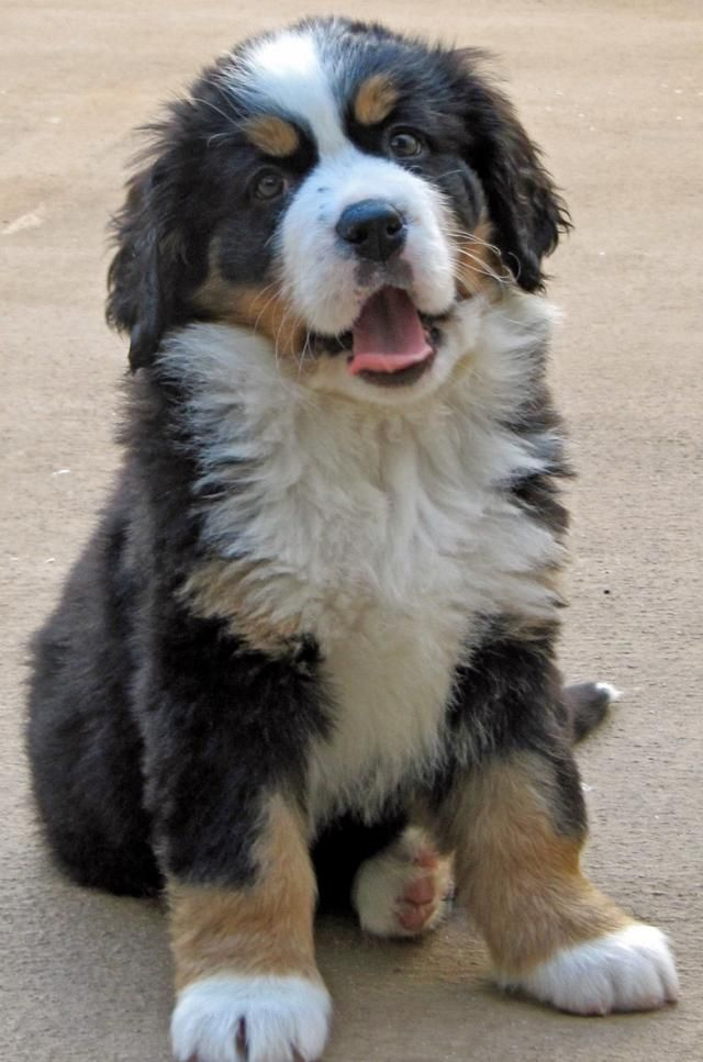 Mountain Bernese Brown Puppy Dog White And