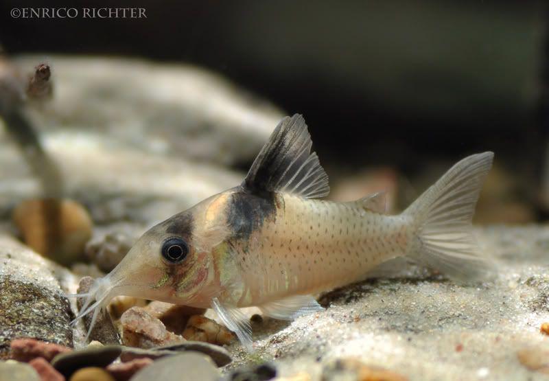 Corydoras Amandajanae Seriously Fish Aquarium Catfish Fish Pet Biotope Aquarium