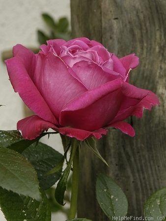 'Senteur Royale ' Rose Photo