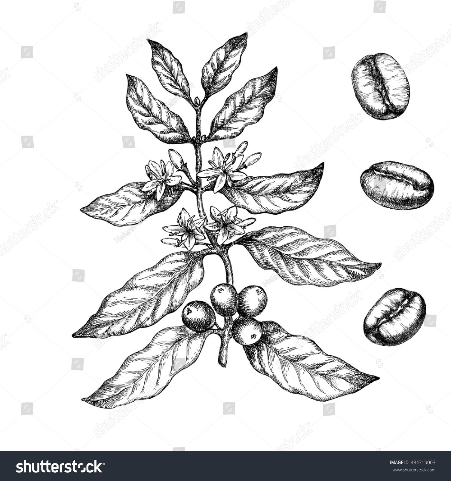 Hand Drawn Vintage Coffee Plant Elements For The Graphic Design Of