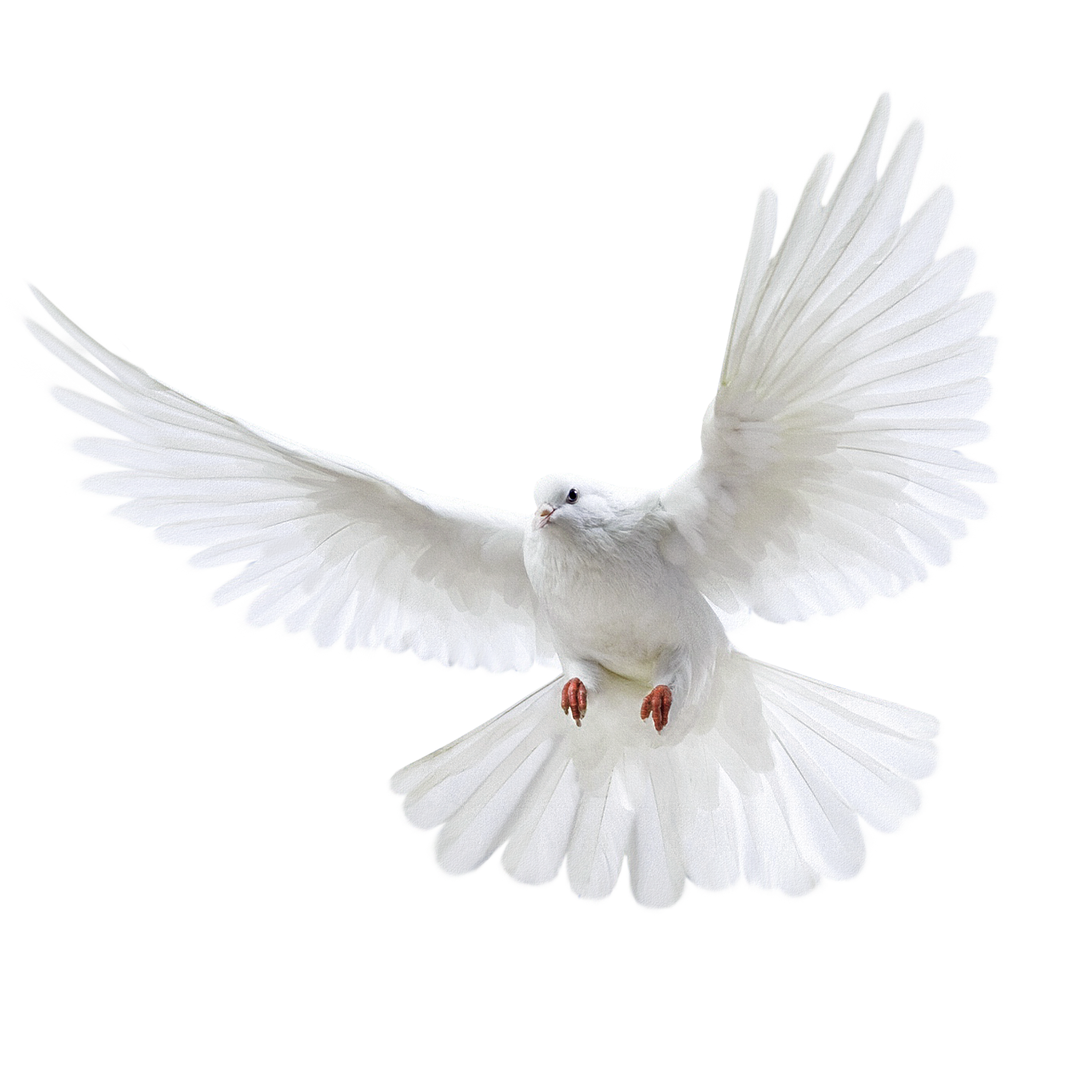 White flying pigeon PNG image image with transparent