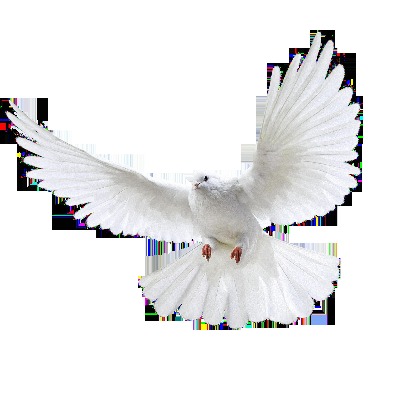 Pin De Caleb Arias En Animales Pigeon Birds Y White Pigeon