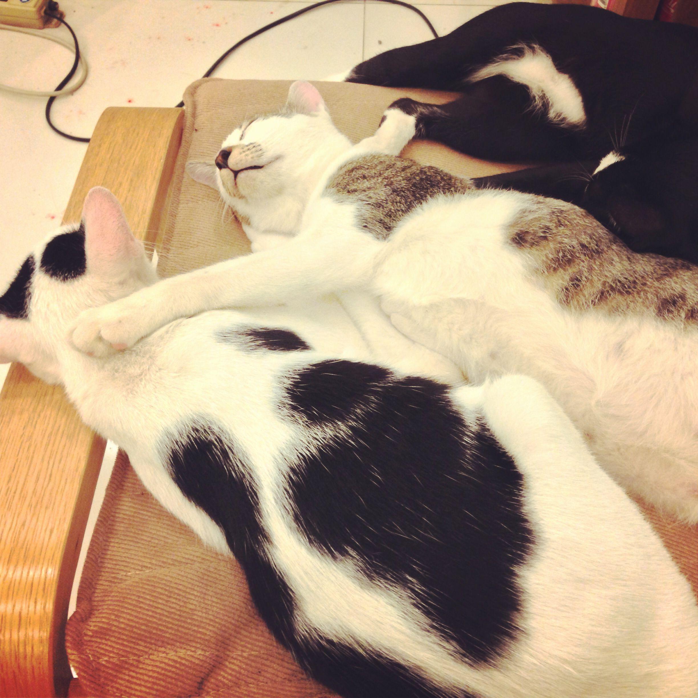 Cute Thai Siam Siamese Cat Cats Kitty Kitten Kittens Sleep แมว ล กแมว ไทย สยาม น าร ก นอน Udoncat Udon Udonthani แมวอ ดร ล กแมว แมว น าร ก
