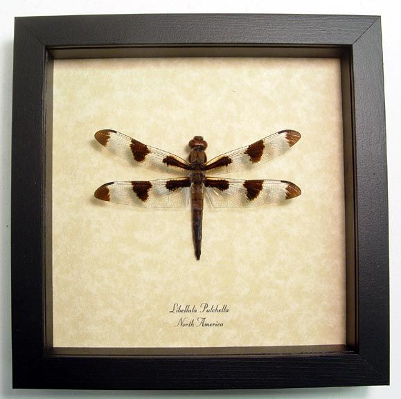 libellula pulchella dragonfly twelve spotted skimmer real framed insect