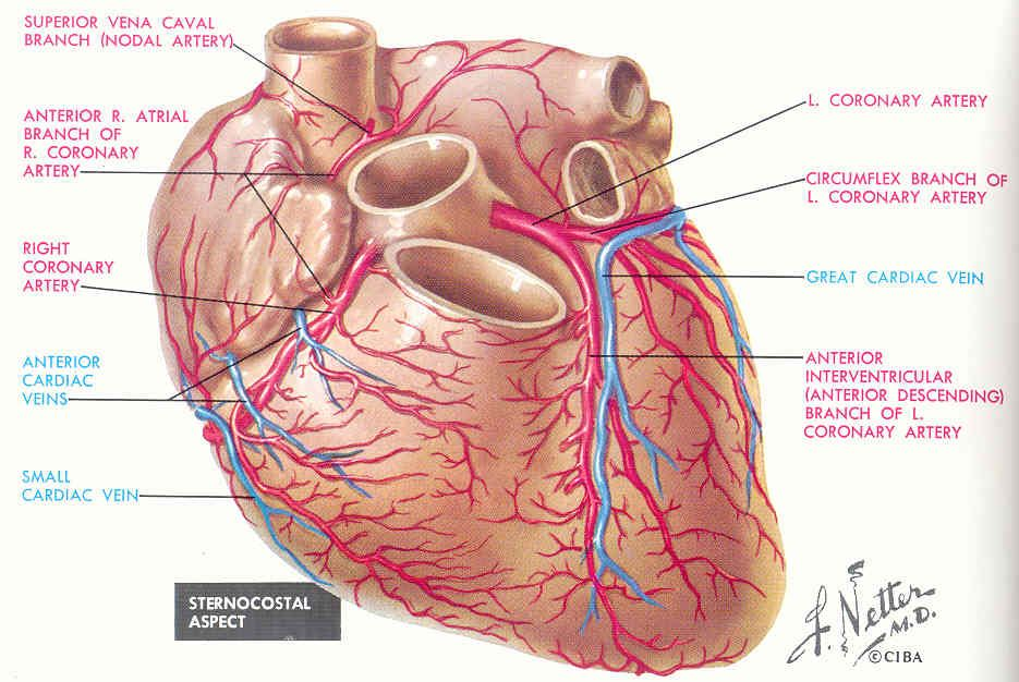 5 Major Coronary Arteries | Anatomy: Coronary Veins ...& Coronary ...