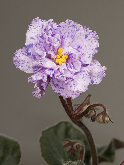 Saintpaulia (African violet) 'Lyon's Magic Charm'