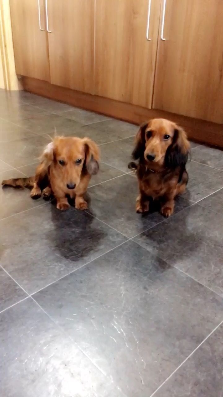 Red miniature long haired dachshunds bassotti pinterest long