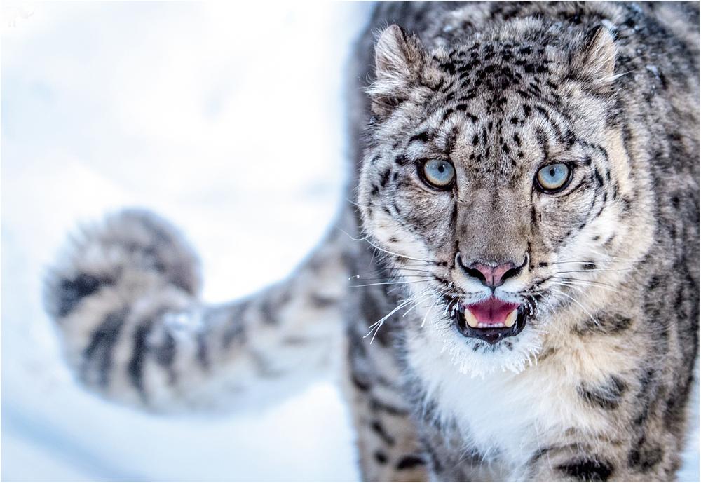 Snow Leopard Google Search Snow Leopard Snow Leopard Endangered Animals