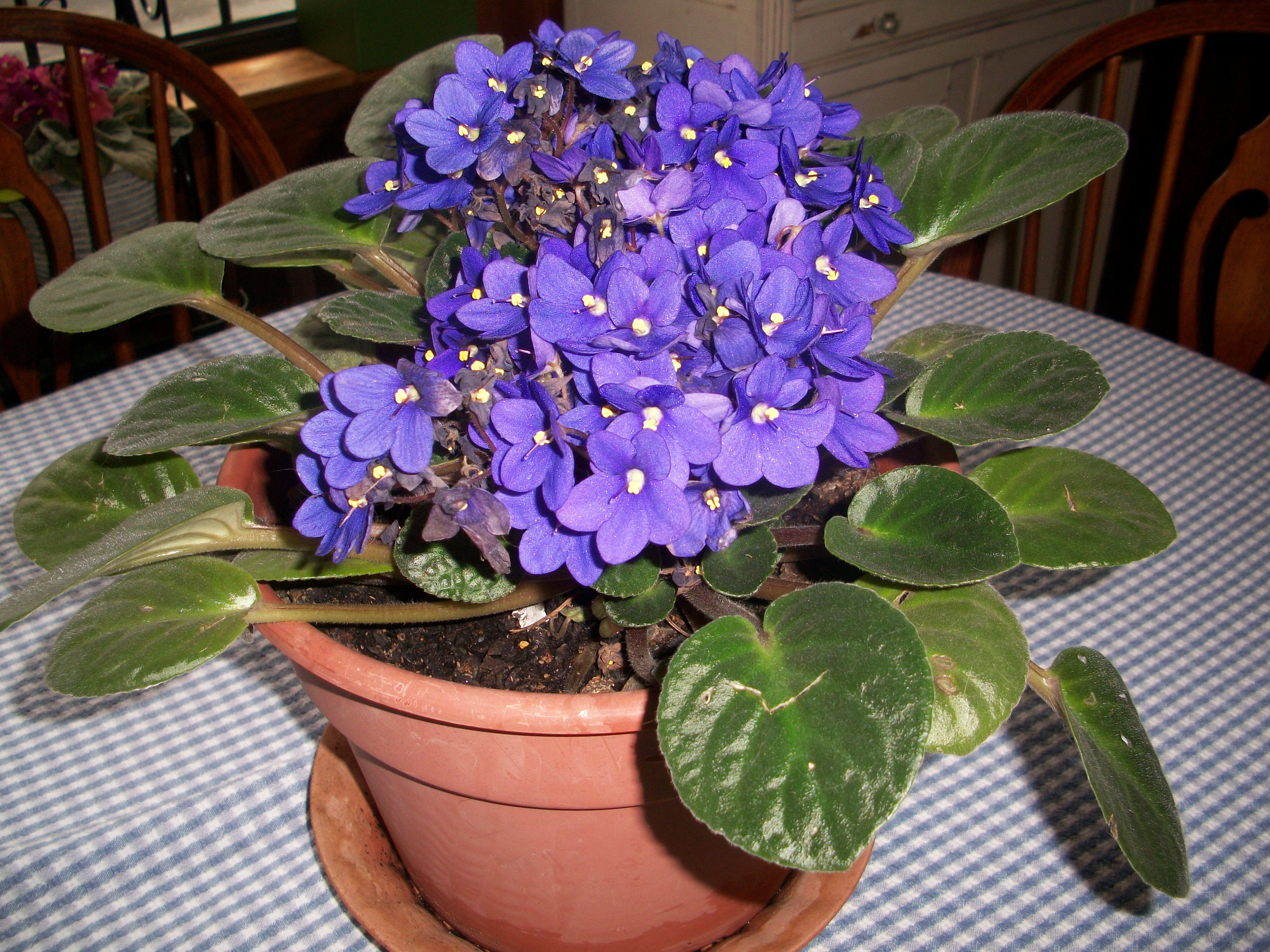 Aureolas Gigantes my beautiful african voliets. i grow these in the momery of
