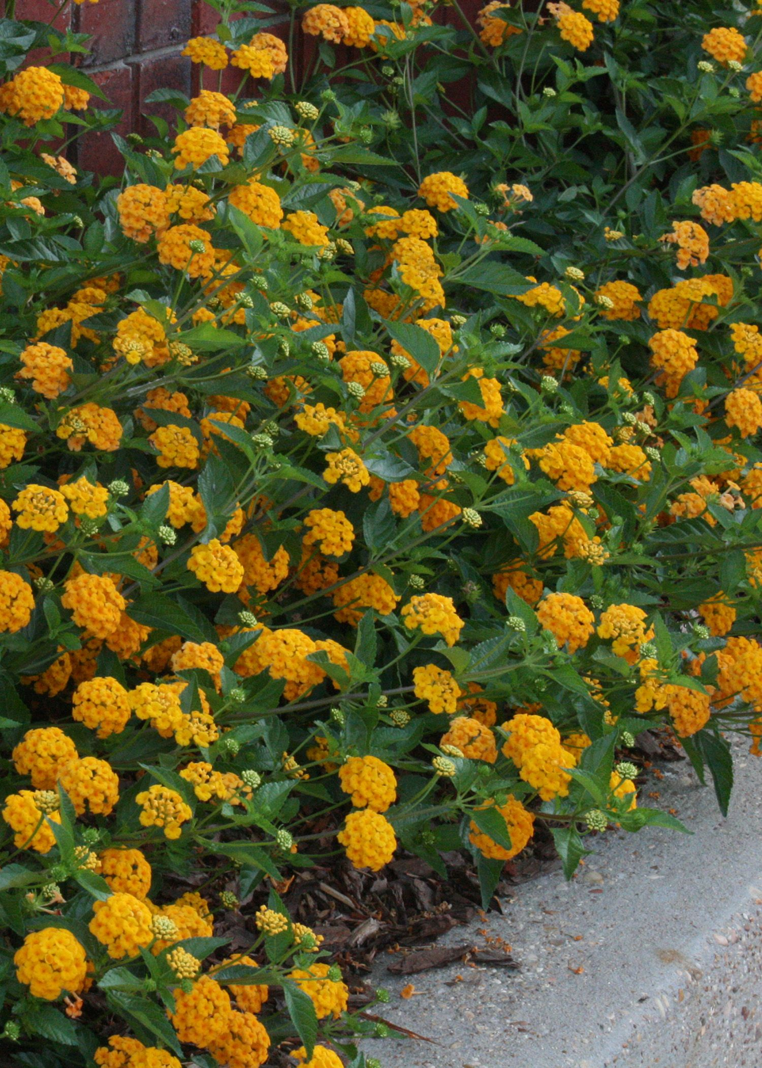 New Gold Lantana Is A Vigorous And Low Growing And Trailing Plant With Outstanding Golden Yello Backyard Plants Container Gardening Container Gardening Flowers