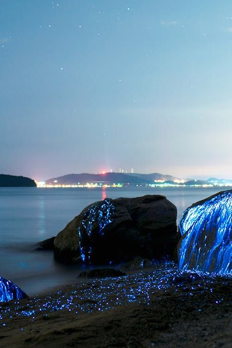 Bioluminescent Beaches That Will Blow Your Mind Sandy Beaches - Bioluminescent shrimp create blue rivers of light in japan